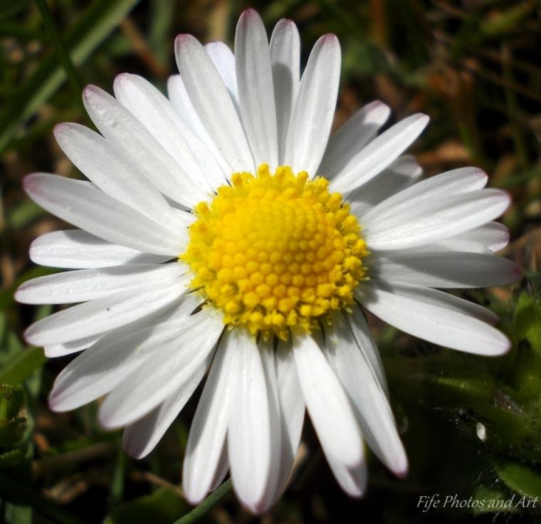 Daisy, Balfarg Woods, Glenrothes